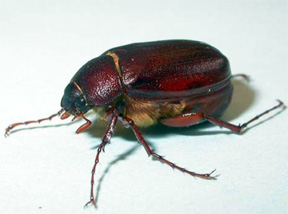 Adult June Beetle