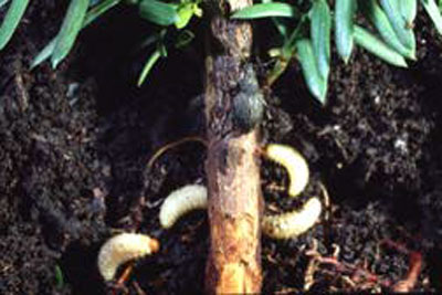 larvae and stem damage