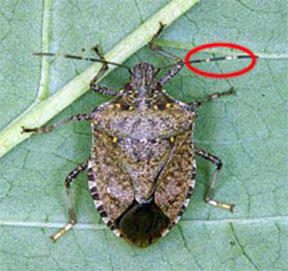 Adult brown marmorated stinkbug with antennal segments highlighted
