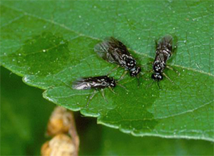 Birch leafminer adults