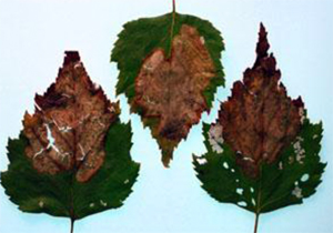 Birch leaf mines after they turn brown