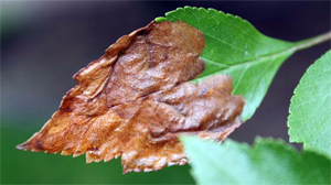 Mines in a hawthorne leaf