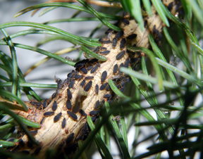 Look out for aphids in Christmas trees | MSU Extension