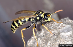 The European paper wasp