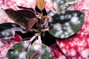 Powdery mildew infection on poinsettia bracts.