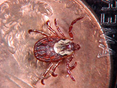 Female American dog tick