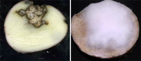 Potato tuber infected with Fusarium dry rot (F. sambucinum), the cavity lined with yellow mycelium (left). On the right is a potato tuber infected with F. graminearum, lined with white to pink mycelium.