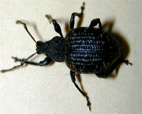 Black vine weevil adult