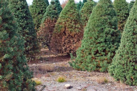 Scotch pine showing typical symptoms of brown spot needle blight