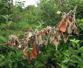Fire blight symptoms in apple
