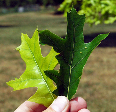 Severe chlorosis in pin oaks - MSU Extension