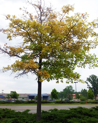 Chlorosis In Pin Oaks May Become Severe Enough To Cause Defoliation And Ultimately Tree Photo Credit Angie Tenney Msu Diagnostic Services