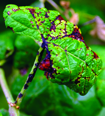 Anthracnose lesions on grape leaf