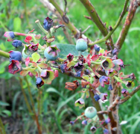 Small blue blueberry fruit