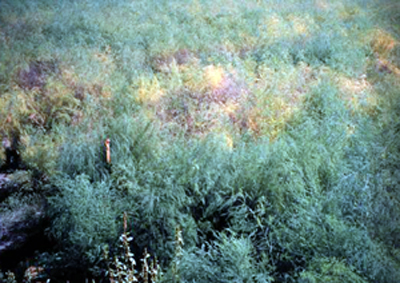 Field epidemic caused by asparagus rust