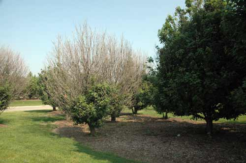 Maples damaged by non-selective herbicide (Sahara)