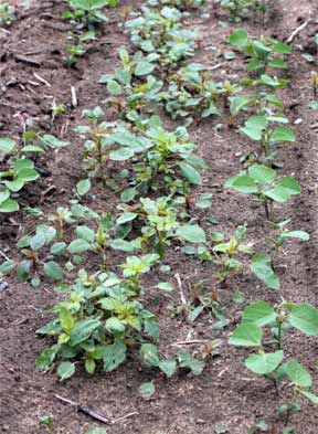 Palmer amaranth outnumber soybean seedlings