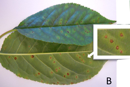 Yellowing Leaves And Leaf Loss Reported In Tart Cherries Msu Extension