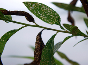 Leaf damage