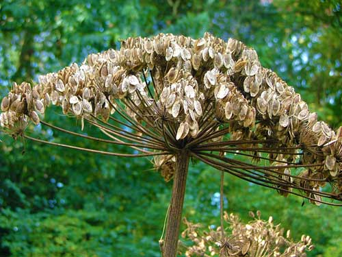 Hogweed stems