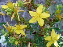 Common St. Johnswort flowers