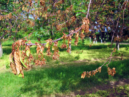 Photo 1 Predominant Symptoms Of European Brown Rot Blossom Blight And Shoot Wilt On Balaton Tart Cherry