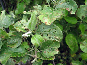 Heavily damaged apple foliage