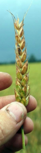 Wheat head infected with Fusarium head blight