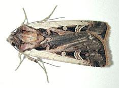 western bean cutworm moth photo credit m rice
