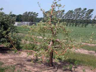 Apple tree with rootstock blight