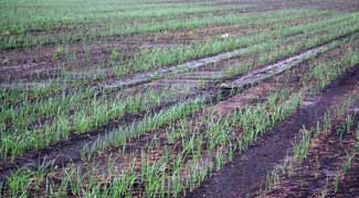 Onion stand thinned by excessive soil moisture