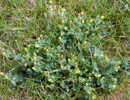 Pesky Broadleaf Weeds Flowering In Turf