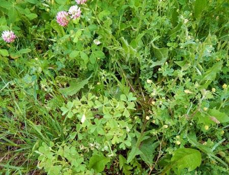 Pesky Broadleaf Weeds Flowering In Turf Msu Extension