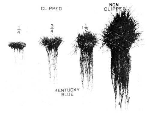 Figure from Turfgrass Science and Culture