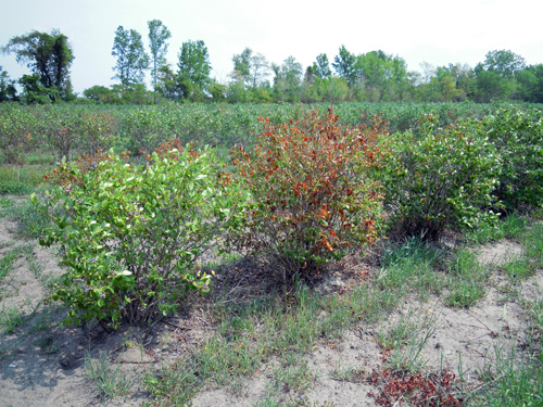Drought-stressed blueberries