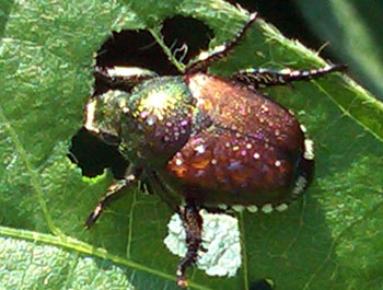Japanese beetle on soybean