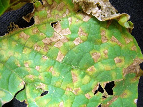 Downy Mildew On Cucumber Confirmed In Michigan Msu Extension