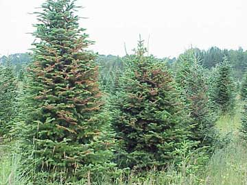 Damage from balsam fir sawfly