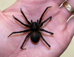 Brown Recluse Spider Bite: Pictures, Images Symptoms