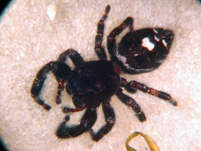 Big Ol Hairy Spiders Msu Extension