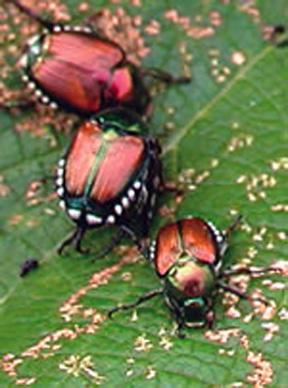 Anese Beetle
