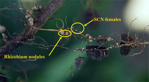 Soybean cyst nematode females