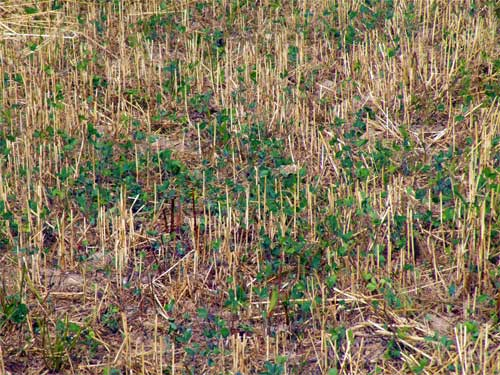 Frost-seeded red clover