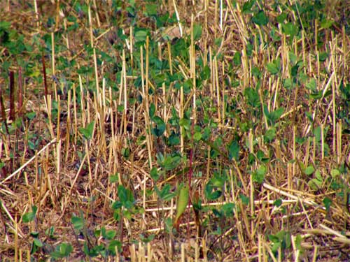 Frost-seeded red clover close-up