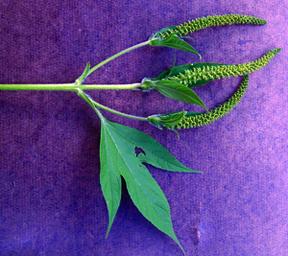 giant-ragweed-seedling