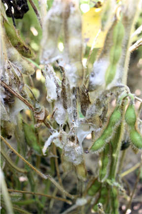 Sclerotinia stem rot signs