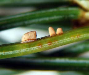 spruce needle rust blister