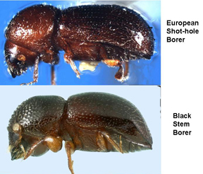ambrosia beetles