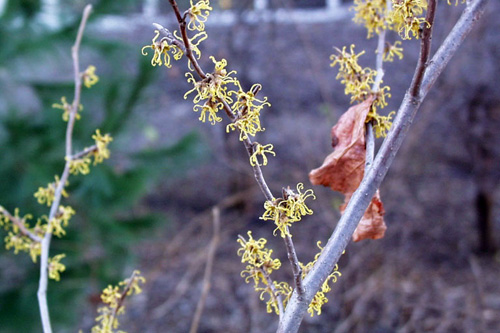 Witchhazel flowers