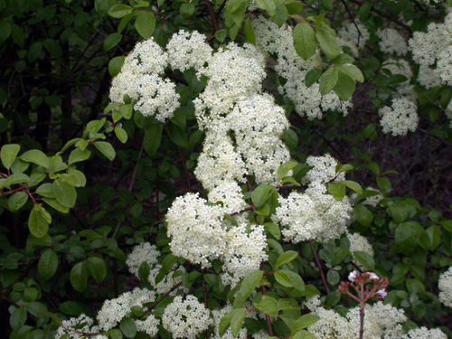 Native plants for michigan landscapes part 2 shrubs msu extension blackhaw viburnum flowers mightylinksfo